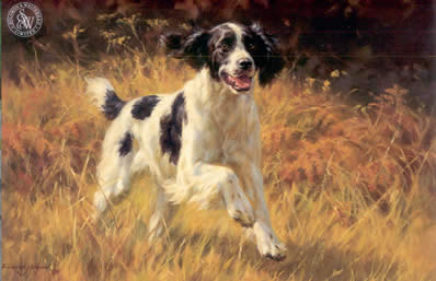 all-action-black-white-springer-spaniel-3719