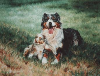 austrailian-sheepdog-4310