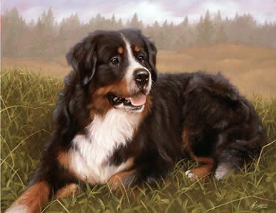 bernese-mountain-dog-2679