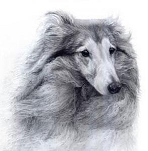 bracken-shetland-sheepdog-6299