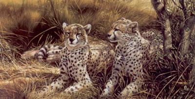 cheetahs-2384