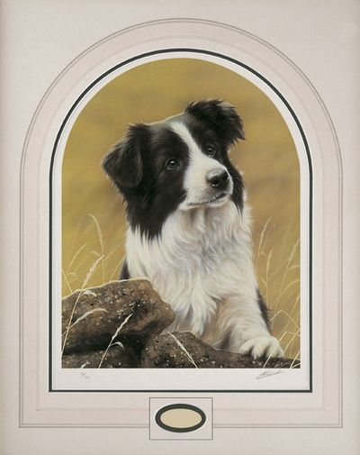 classic-breed-border-collie-2655
