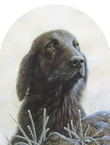 classic-breed-flat-coated-retriever-2656
