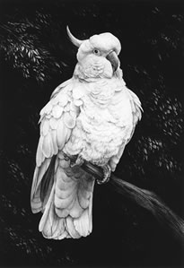 cockatoo-i-3893
