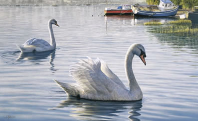 evening-parade-swans-4285