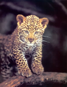 first-adventure-leopard-cub-1247