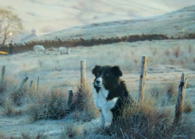 first-light-border-collie-4169