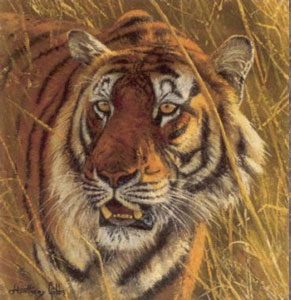 five-faces-of-india-bengal-tiger-2539