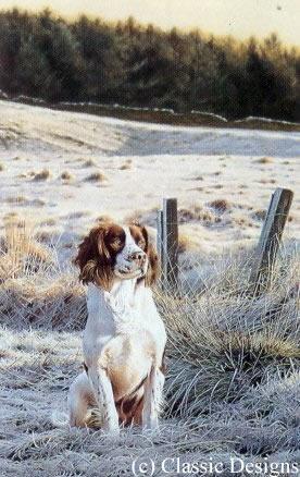 frosty-morn-springer-spaniel-1201