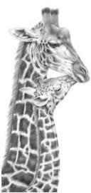 Inseparable - Giraffes