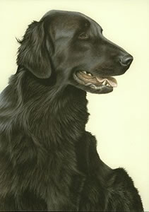 just-dogs-black-flat-coated-retriever-6275
