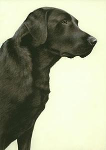 just-dogs-black-labrador-6269