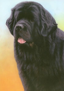 just-dogs-black-newfoundland-5650