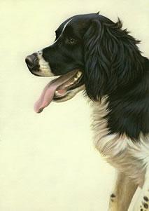 just-dogs-black-white-english-springer-spaniel-6273