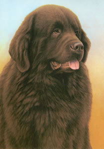 just-dogs-brown-newfoundland-5651