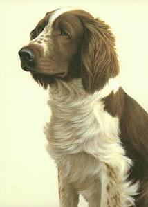 just-dogs-welsh-springer-spaniel-6274