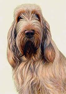 just-dogs-white-orange-italian-spinone-5653