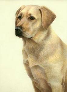 just-dogs-yellow-labrador-6270