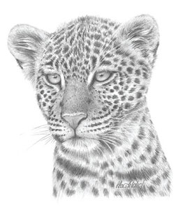leopard-study-1381