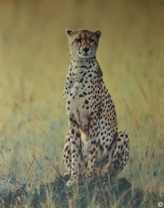 morning-dew-cheetah-1248
