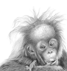 nice-hair-baby-orangutan-1356