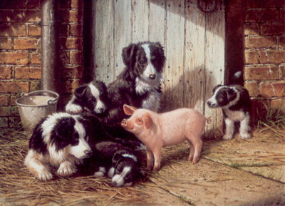 piggy-in-the-middle-border-collies-pig-2394