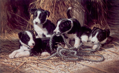 playtime-border-collie-puppies-2400