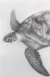 queen-of-diamonds-green-turtle-3655