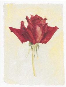 red-rose-2583