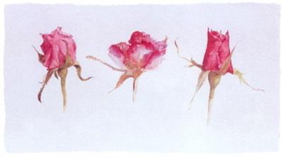 rose-bud-trio-2579