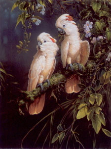 salmon-crested-cockatoo-parrots-2393