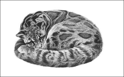 serenity-clouded-leopard-6302