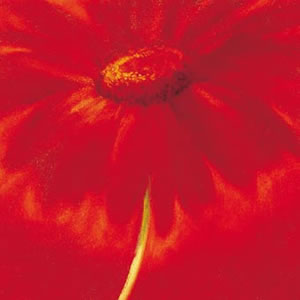 slice-of-life-gerbera-3307