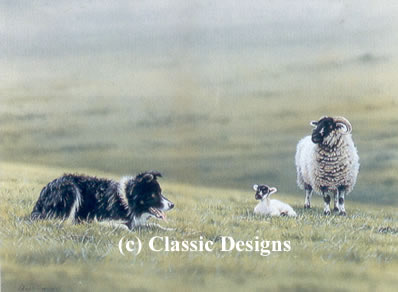 steady-boy-border-collie-sheep-7233