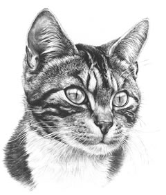 tabby-cat-3892