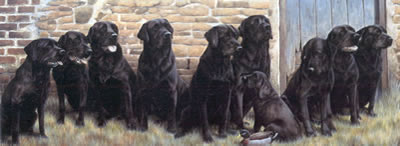 the-new-recruit-black-labradors-1480