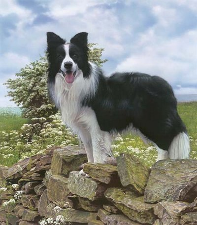 Trooper - Border Collie