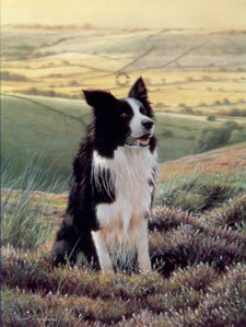 Watchful Eye - Border Collie