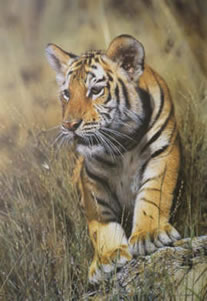 young-pretender-tiger-cub-1243