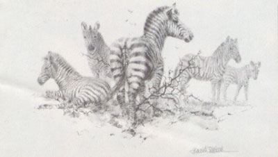 Zebra (Pencil)