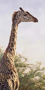 High And Mighty - Giraffe by Alan Hunt