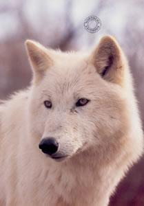 Study Of A White Wolf by Steven Townsend