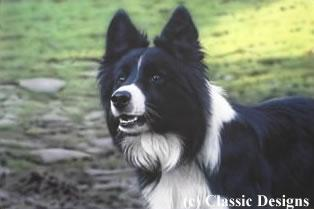 Victor (Border Collie) by Steven Townsend