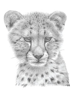 cheetah-study-1380