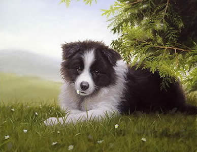 Daisy - Border Collie by John Silver