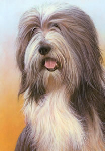 just-dogs-bearded-collie-5652