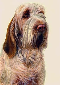 just-dogs-orange-roan-italian-spinone-5654