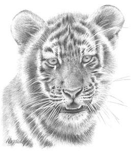tiger-study-1383