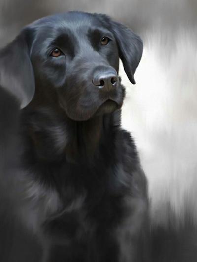 Black Labrador (40th Anniversary Image)