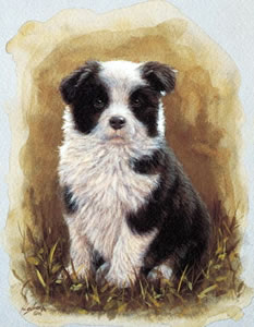 Border Collie Pup Study